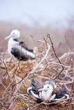 Poussins magnifiques de frigatebird Photos stock