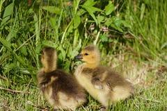 Poussins très mignons sur l'herbe Photographie stock