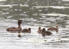 Poussins tuftés de canard sur la rivière de Pehorka de l'eau Photo libre de droits