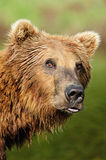 Pouting Bear Royalty Free Stock Photography