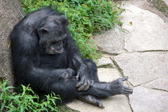 Pouting chimpanzee leaning on rock stock image