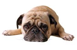 pouting pug Стоковое Фото