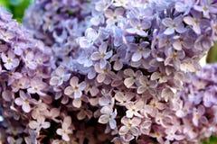 pouvez Lilas de floraison Variété de surprises de variétés avec des nuances Photos stock