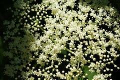 pouvez Un nuage blanc d'une inflorescence parfumée de baie de sureau Photographie stock libre de droits