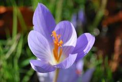 Pouvoir de fleur pourpré photos stock