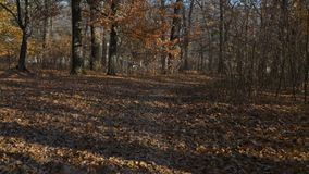 POV περίπατος μέσω της αραιής δασικής βουνοπλαγιάς, λεπτοί κορμοί δέντρων, σημεία ήλιων στο έδαφος φιλμ μικρού μήκους