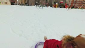 Dog jack russell terrier plays purple rings in snow stock video footage
