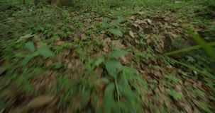 POV Animal Searching green forest, walking on a path in the green forest