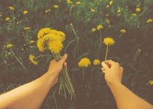 POV image of picking yellow dandelions Stock Photos