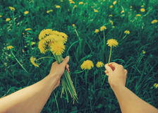 POV image of woman with dandelions Royalty Free Stock Photography
