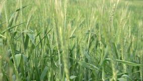 POV jemand, das durch hohes Gras in der Wiese umzieht Grüner Weizen, der in Wind beeinflußt Feld am Sommertag stock video