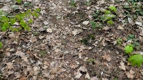 Pov-Kamera geht entlang einen Waldweg Die getrockneten Blätter von letztes Jahr Neuer Frühling grünt, Unterholz, Strauch, Parklan stock video footage