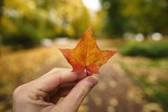 POV man hand hold orange maple leaf while walking in alley Royalty Free Stock Image