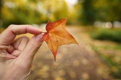 POV man hand hold orange maple leaf while walking in alley Royalty Free Stock Images
