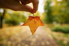 POV man hand hold orange maple leaf while walking in alley Stock Photos