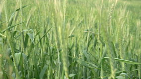 POV någon som flyttar sig till och med högt gräs i äng Grönt vete som svänger i vind Fält i sommardag stock video
