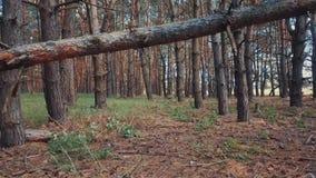 Pov odprowadzenie w pięknym pinewood zdjęcie wideo