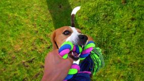 POV playing with funny Beagle, tug rope toy, slow motion shot. Doggy hold strong other side by chews, pull and shake
