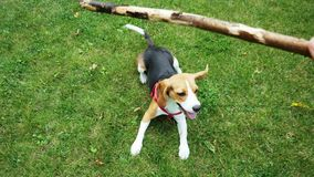 POV shot: Happy beagle dog jumping on camera playing with wooden stick during the evening walk. Dog training stock footage