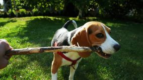POV shot: Happy beagle dog playing with wooden stick on sunset. Dog training. Mans best friend stock video