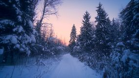 POV shot slowly forward moving on path in winter forest surrounded by tall fir spruce at sunset. Amazing nature landscape fluffy snow covered branches of high stock footage