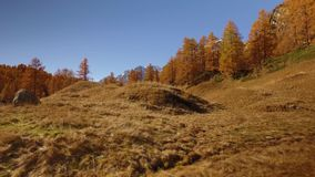 POV walking on fall fields path near trees.Side view with sun. Sunny autumn day Hiking in colorful red forest wild. Nature mountain outdoors.Alps Devero lake stock footage