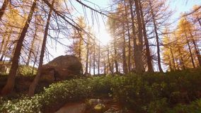 POV walking on fall woods path near trees.Front view with sun. Sunny autumn day Hiking in colorful red forest wild. Nature mountain outdoors.Alps Devero lake stock footage
