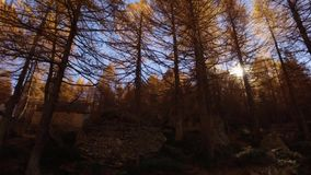 POV walking on fall woods path near trees.Side view with sun. Sunny autumn day Hiking in colorful red forest wild nature. Mountain outdoors.Alps Devero lake stock footage