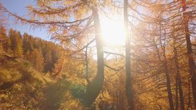 POV walking on fall woods path near trees with sun and snowy mounts. Sunny autumn day Hiking in colorful red forest wild. Nature mountain outdoors.Alps Devero stock footage