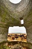 Poverty concept with cows grazing. Herd of cows framed in the hole of a broken wall from a decrepit building, suggesting poverty Royalty Free Stock Photos