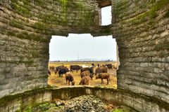 Poverty concept with cows grazing. Herd of cows framed in the hole of a broken wall from a decrepit building, suggesting poverty Royalty Free Stock Image