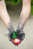 Povos de jardinagem das mãos escuras com rosas Fotografia de Stock Royalty Free