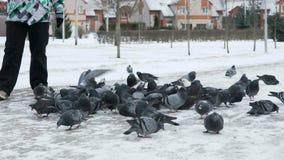 Povos que alimentam o rebanho grande dos pombos no parque video estoque