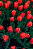 Povos que apreciam tulipas na exposição em Washington Park Albany NY em uma tarde chuvosa na mola imagens de stock royalty free