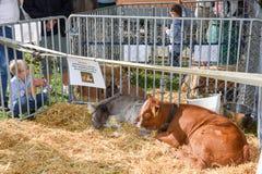 Povos que olham vitelas em Ennetbuergen nos cumes suíços Imagem de Stock Royalty Free