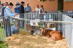 Povos que olham vitelas em Ennetbuergen nos cumes suíços Foto de Stock Royalty Free