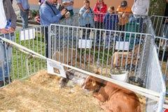 Povos que olham vitelas em Ennetbuergen nos cumes suíços Fotografia de Stock Royalty Free
