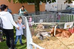 Povos que olham vitelas em Ennetbuergen nos cumes suíços Imagem de Stock