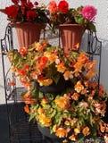 Powłóczyści Morelowi begonia kwiaty zdjęcia stock