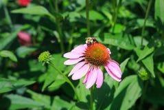 Pow Pow Wild Berry Coneflower Echinacea Purpurea Stock Images