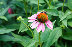 Pow Pow Wild Berry Coneflower Stock Photo