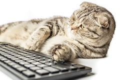 Poważnego pasiastego kota Szkocki fałd pracuje lying on the beach przy komputerem Obrazy Stock