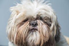 Poważny śliczny kosmaty psi portret na błękitnym tle Zdjęcia Royalty Free