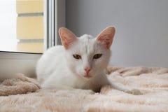Poważny biały kot z zielonymi oczami jest łgarski na różowy powszechnym okno i patrzeć w kamerę blisko Fotografia Royalty Free