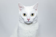 Poważny kot Obrazy Royalty Free
