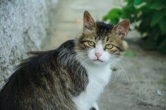 Poważny kot stern wygląda Fotografia Stock