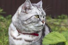 Poważny popielaty kot brytyjscy lub szkoccy trakenów trakeny siedzi zdjęcie royalty free