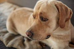 Poważny psi opierać na wygodnej leżance Zdjęcia Royalty Free