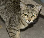 Poważny kot Fotografia Stock