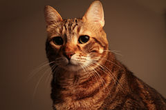 Poważny kot Obraz Stock